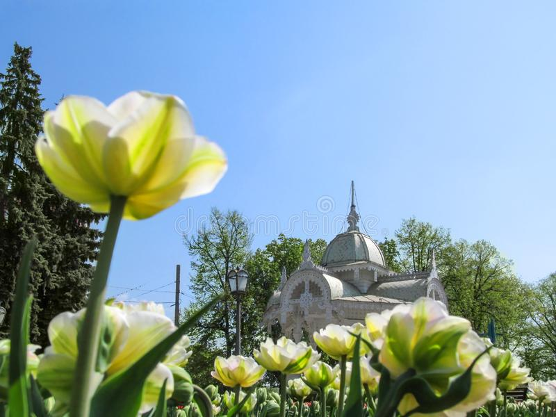 Carved wooden roof of Altanka against the background of white tulips in Sumy royalty free stock images