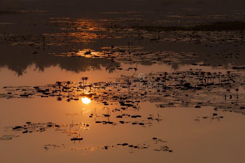 Sun é refletido da superfície de uma lagoa com lótus fotografia de stock royalty free