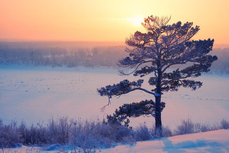 Sun över ensamt pinjeträd och siberisk flod Tom under snö och is vid kvällsolnedgången på vintern arkivfoto