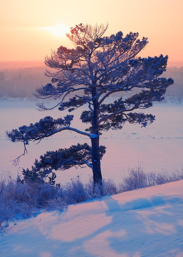Sun över ensamt pinjeträd och siberisk flod Tom under snö och is vid kvällsolnedgången på vintern royaltyfria foton