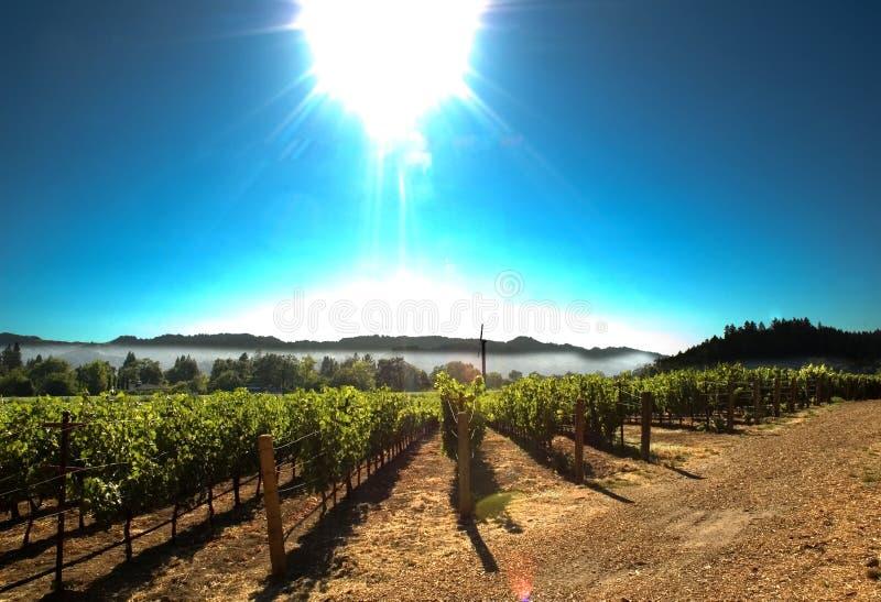Sun över vingård royaltyfri foto