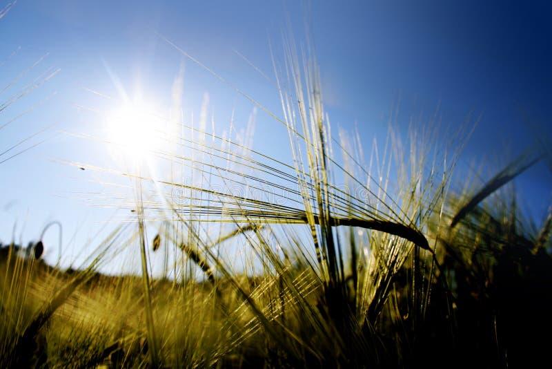 Sun acima de um campo de milho no summ fotos de stock royalty free