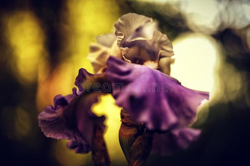sun aglow iris stock photo