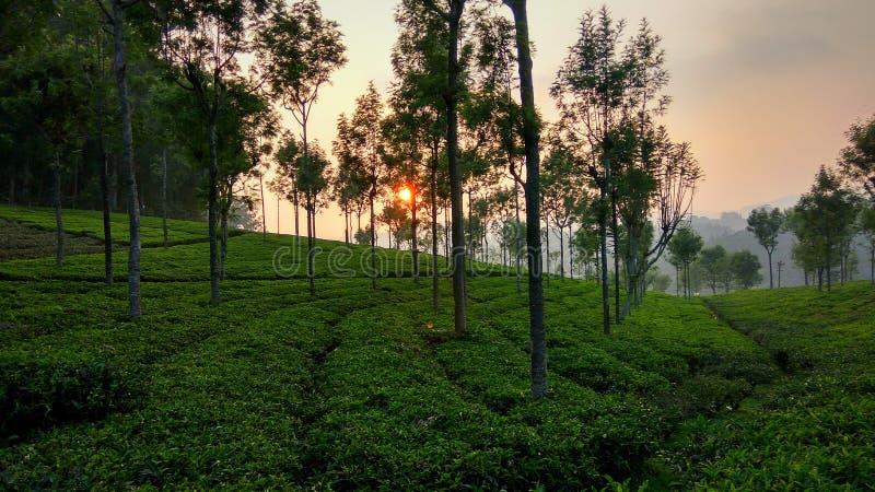 Sun ajustou-se da propriedade do chá imagem de stock royalty free