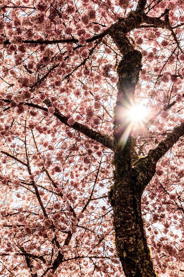 Sun Angel Coming attraverso Cherry Tree sbocciante fotografie stock