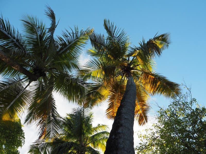 Sun através das palmeiras na borda de uma praia na ilha de Martinica imagens de stock royalty free