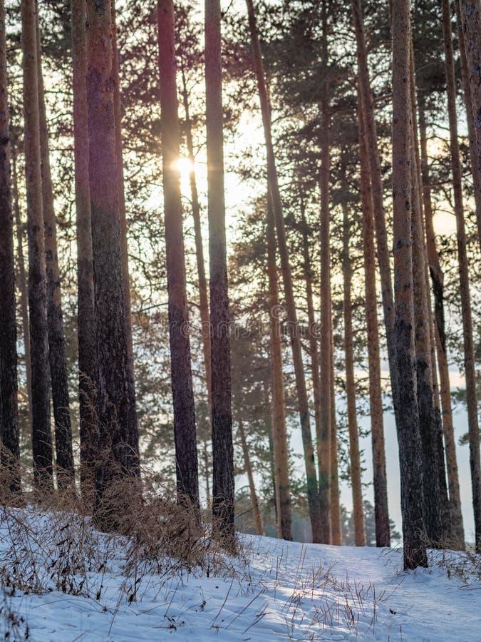 Sun através dos pinhos na floresta do inverno fotografia de stock royalty free