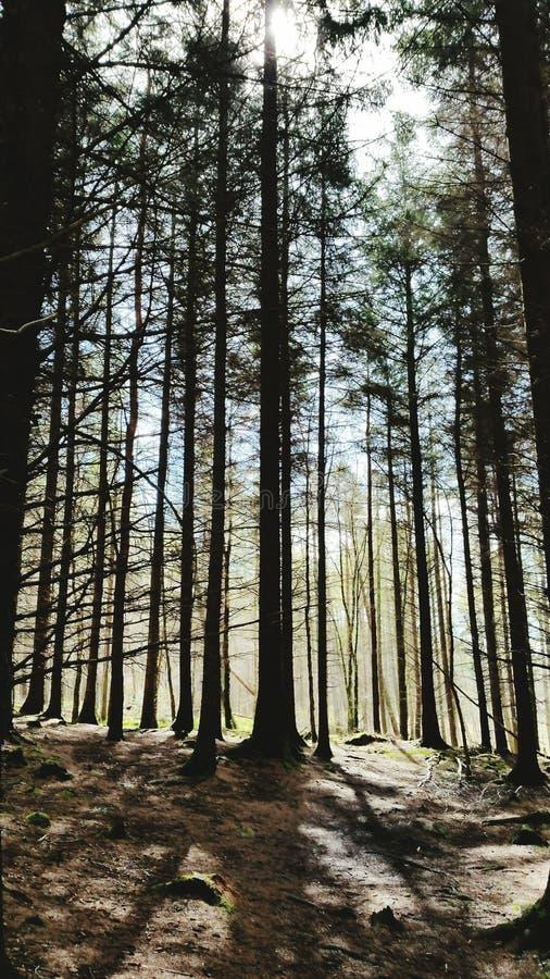 Sun attraverso gli alberi alti immagini stock