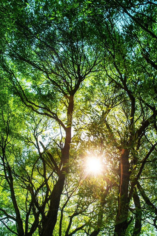 Sun ays shining through trees ,nature background / vertical photo stock images