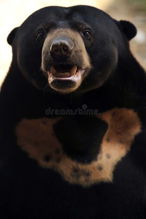 Sun-Bär stockfoto