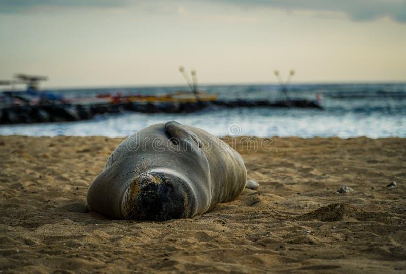 Sun Bathing Seal stock photography
