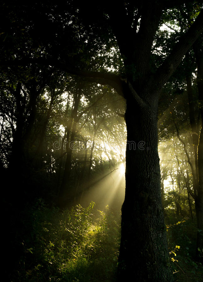 Sun beam through forest royalty free stock photography