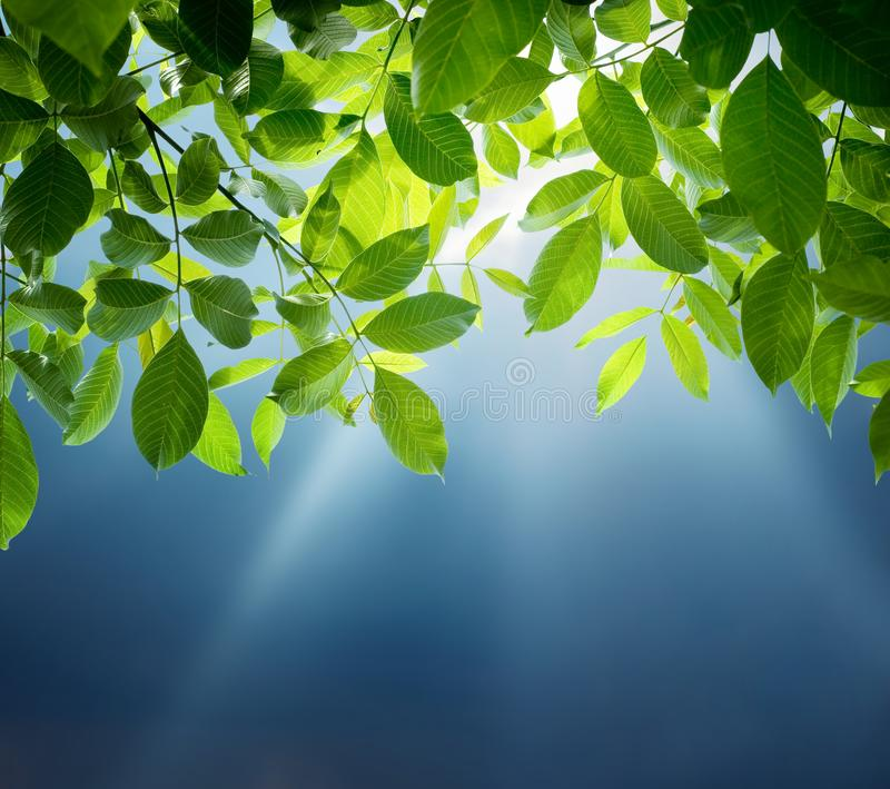 Sun beams, blue sky and green leaves. Spring and summer nature b stock photo