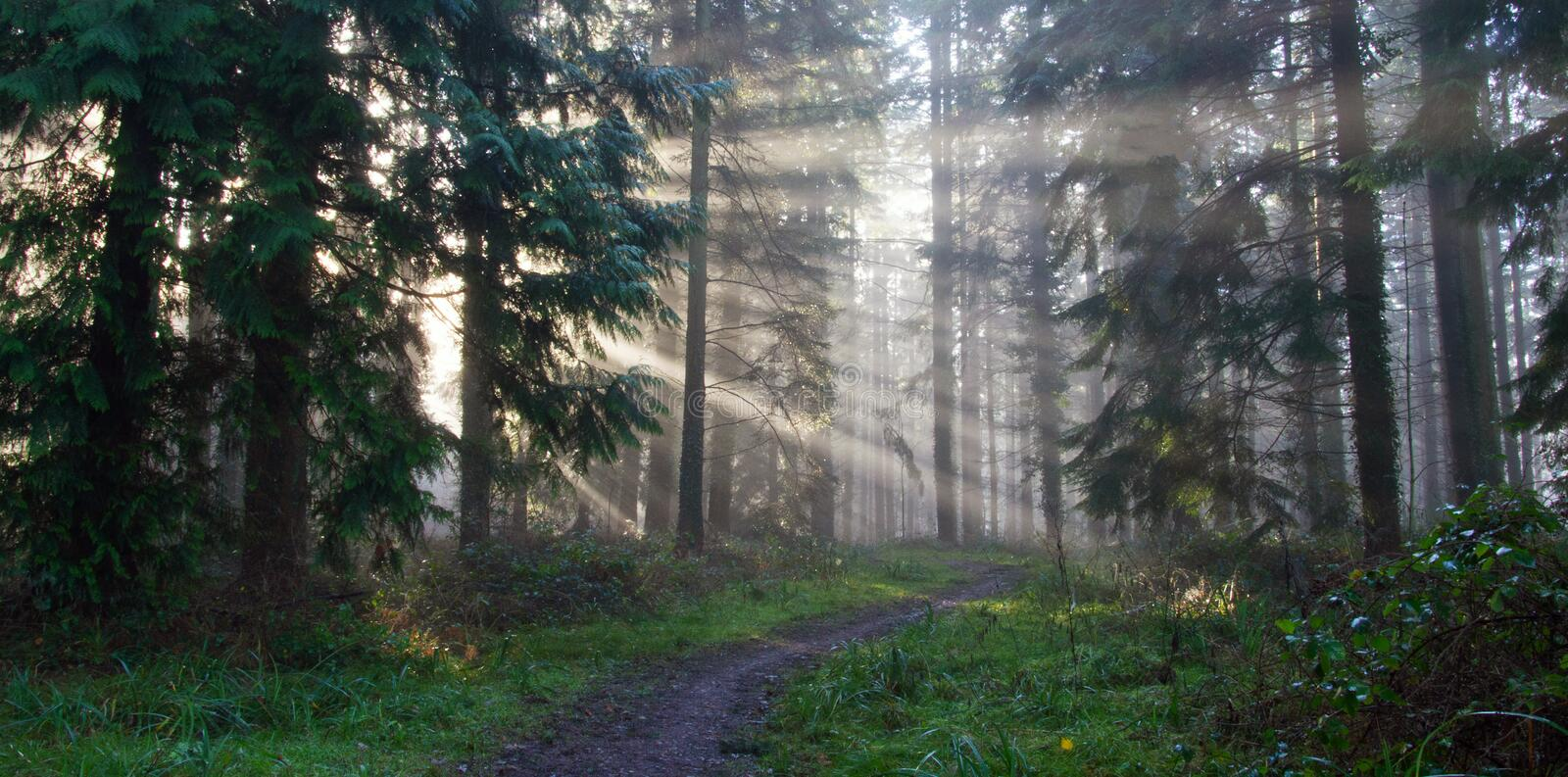 Sun beams coming through the pine trees, as a path goes through a misty forest on an autumn morning.  royalty free stock image