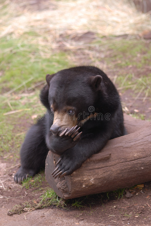 Sun Bear. A young sun bear pauses on a log with an expression that suggests a bad case of indigestion royalty free stock photo