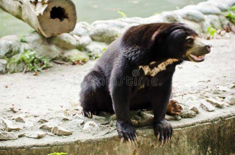 Download Sun Bear stock image. Image of water, mammals, bear, captivity - 24761201