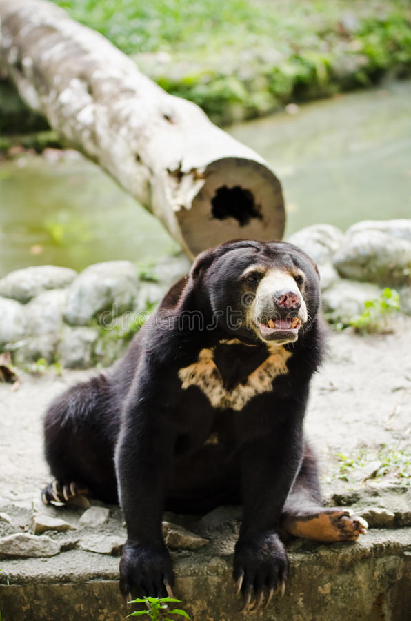 Download Sun Bear stock photo. Image of wildlife, bear, water - 24761244