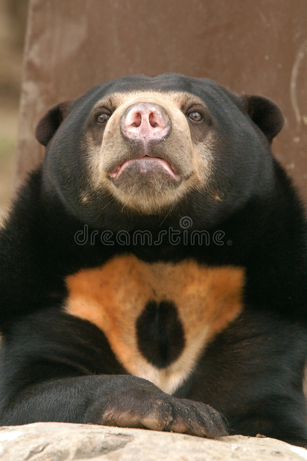 Free Sun Bear Royalty Free Stock Photography - 482167