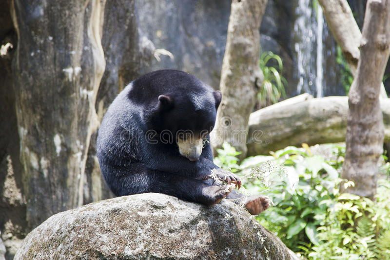 Sun Bear,Helarctos malayanus royalty free stock photo