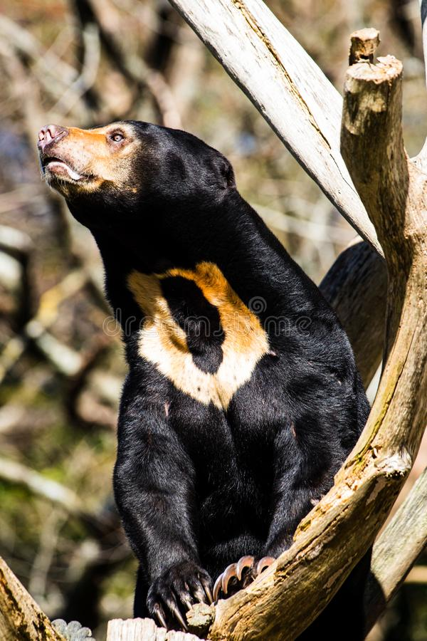 Sun bear reaching out to the light, shallow depth of field royalty free stock images