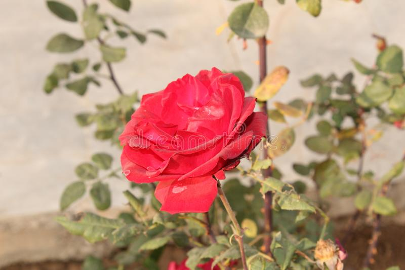 Sun beleuchten das Fallen auf die rote Rose mit grünem Urlaub stockbilder
