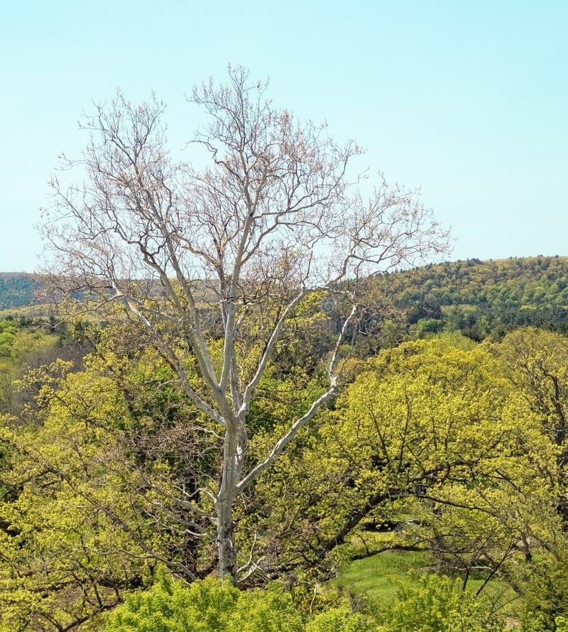 Sun blich Baumstamm und -niederlassungen stockbilder