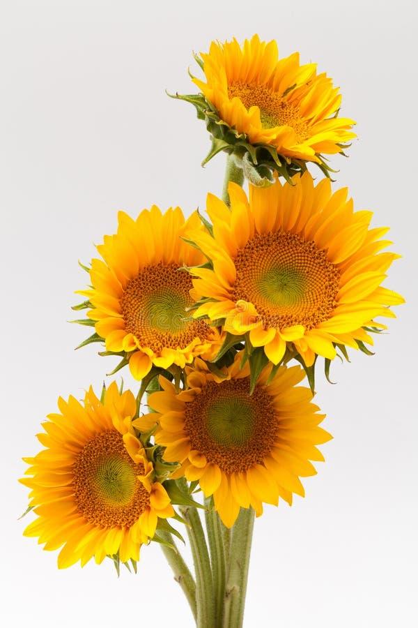 Sun blomma arkivfoto
