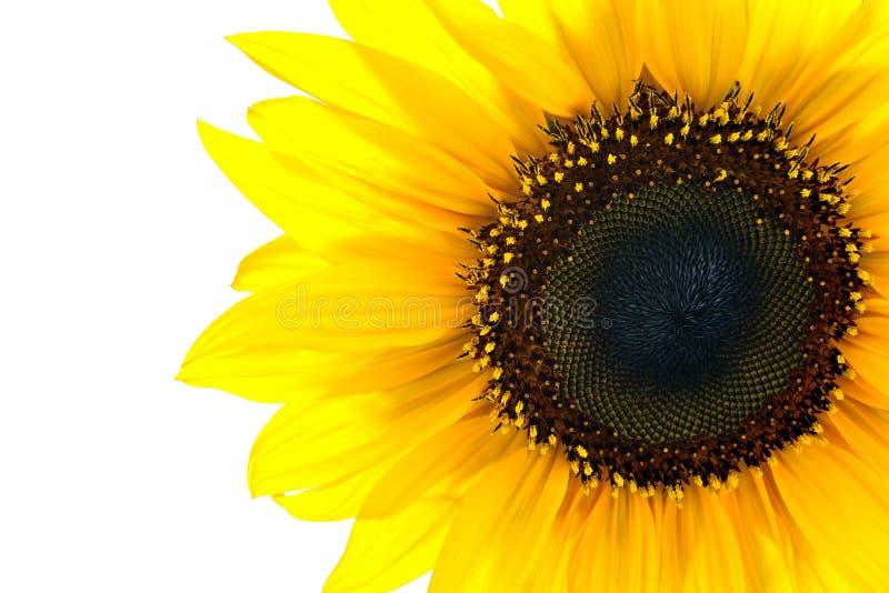Sun blommacloseup royaltyfri foto