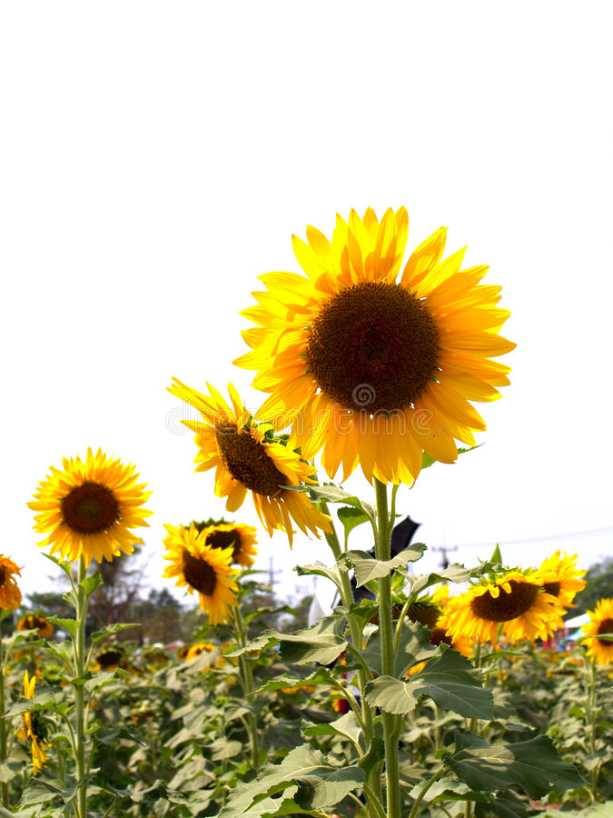 Sun-Blume 03 lizenzfreie stockfotos