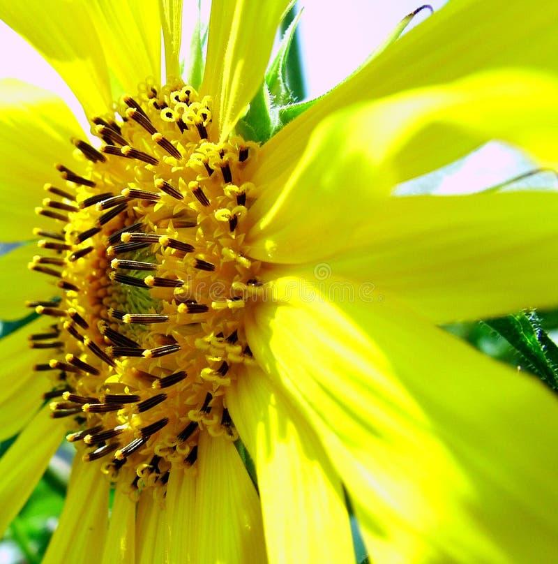 Sun-Blume stockbilder