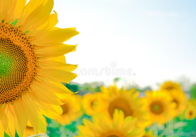 Sun-Blume lizenzfreie stockbilder