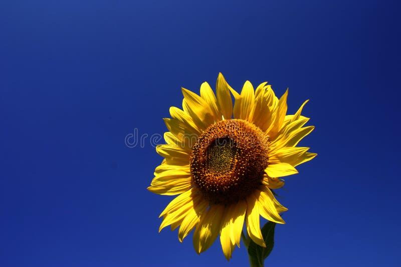 Sun-Blume lizenzfreie stockfotografie