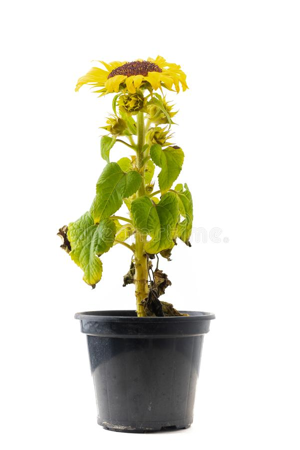 Sun-Blume in einem schwarzen Topf lizenzfreies stockbild