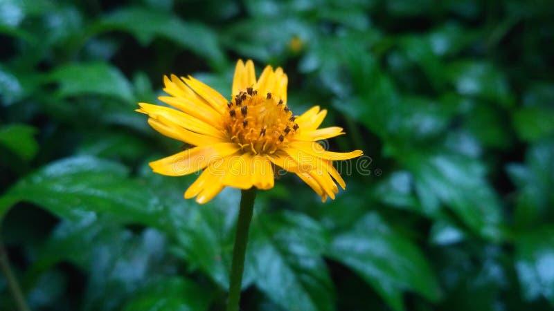 Sun-Blume in rainey Jahreszeit stockfotos