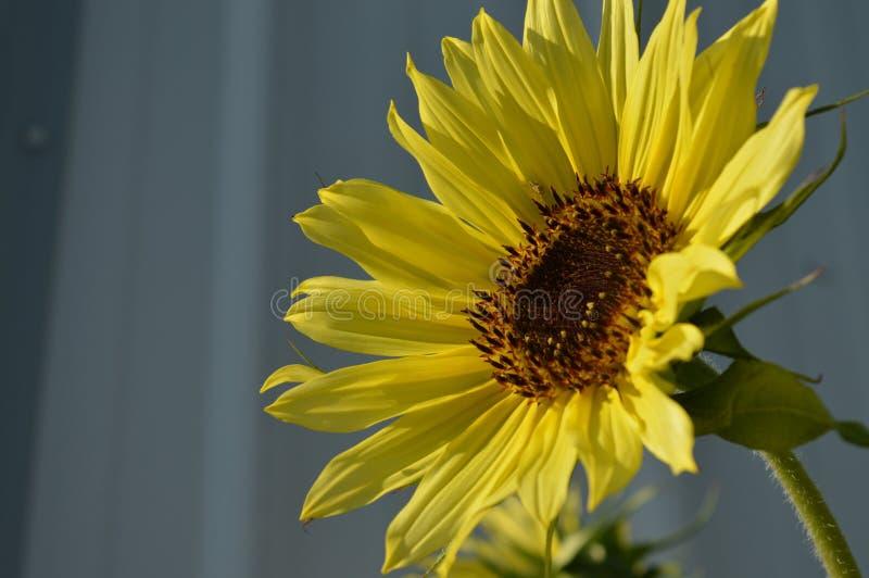 Sun-Blumen-Leben lizenzfreies stockbild