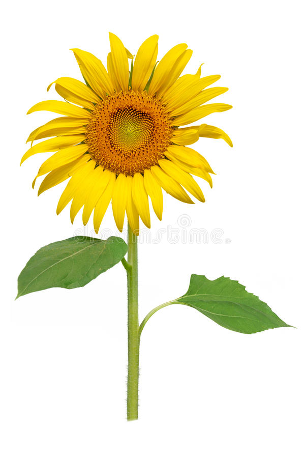 Sun-Blumenblühen lizenzfreies stockfoto