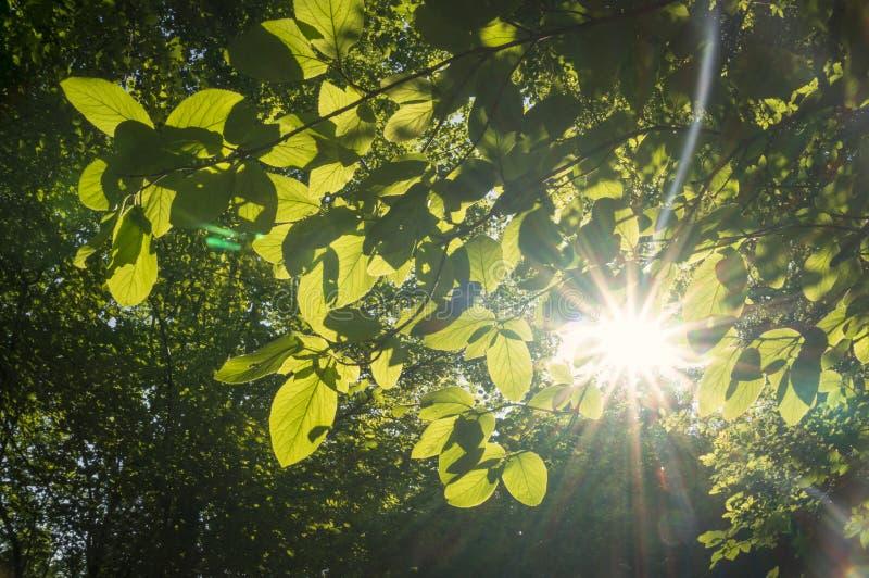 Sun brilha através das folhas imagem de stock