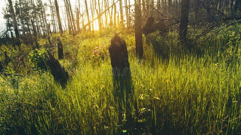 Sun brilha com as consequências queimadas mortos do conceito das árvores dos incêndios florestais foto de stock