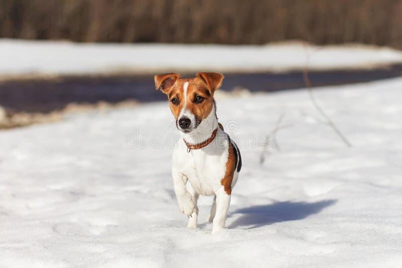 Sun brilla en la pequeña situación del terrier de Jack Russell en la nieve, río detrás de ella imagenes de archivo