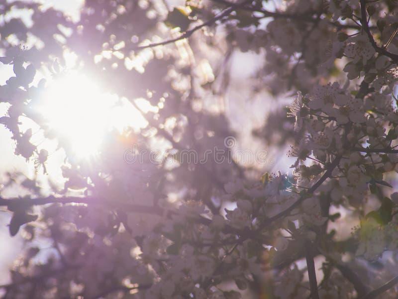 Sun brilla a través de un árbol floreciente imágenes de archivo libres de regalías