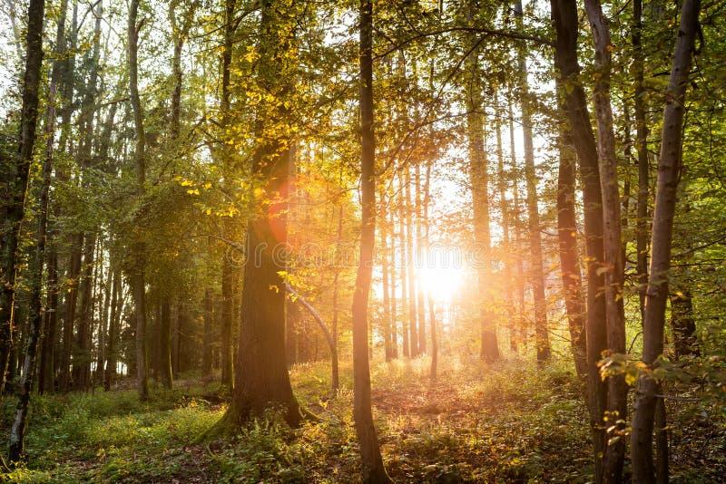 Sun brillant par des arbres dans une forêt photos stock