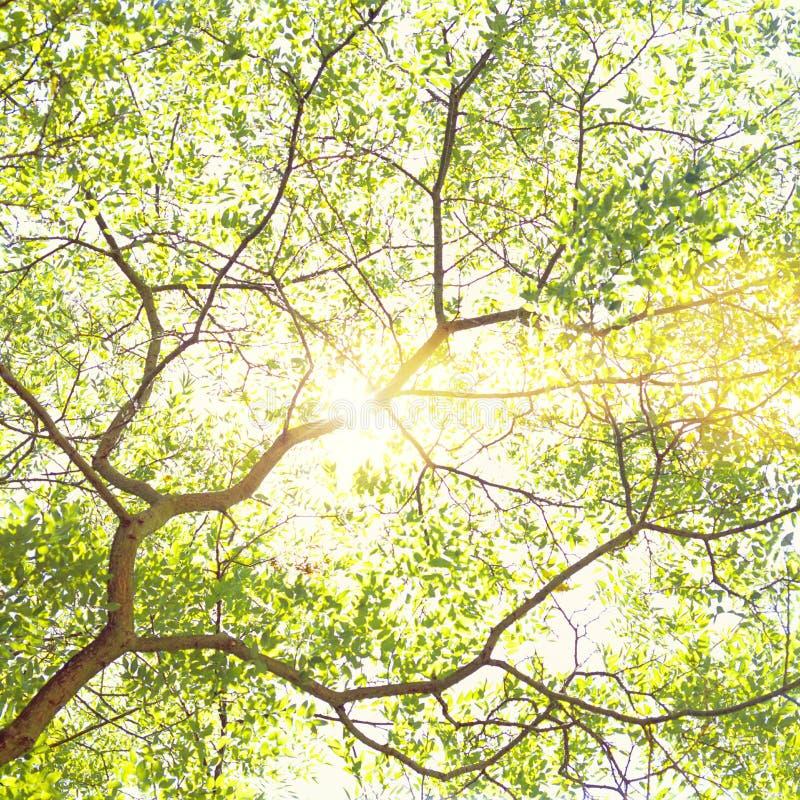 Sun brillant par des branches d'arbre et des feuilles vert clair Fond sumnny de nature de jour d'été de ressort photo libre de droits