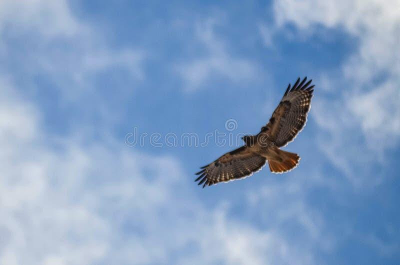 Sun brillant par les ailes tendues du faucon montant photo libre de droits