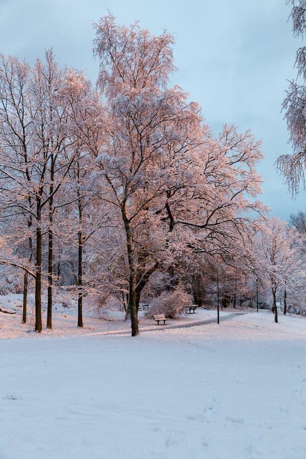 Sun brillant sur les dessus d'arbre en parc un jour neigeux d'hiver à Stockholm Suède image libre de droits