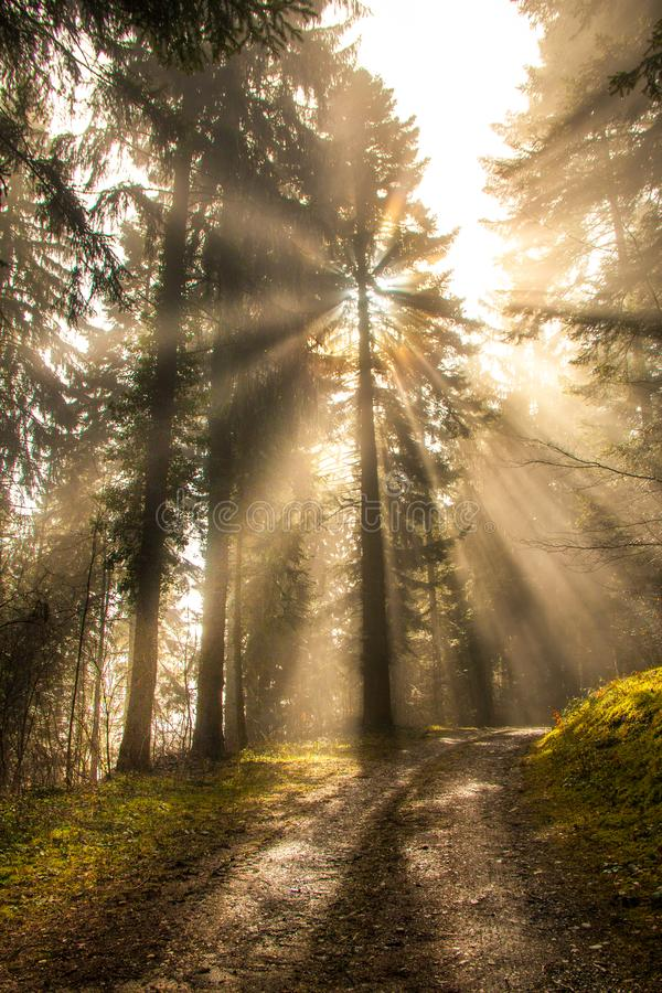 Sun brillante emite el brillo a través de árboles de pino en bosque verde fotos de archivo