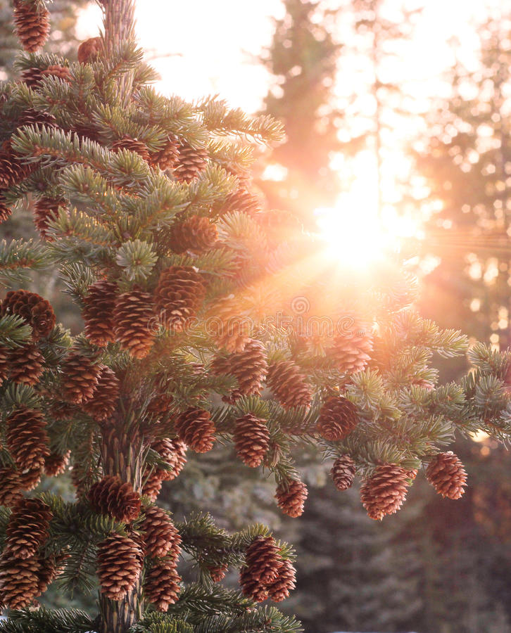 Sun burst through spruce royalty free stock photography