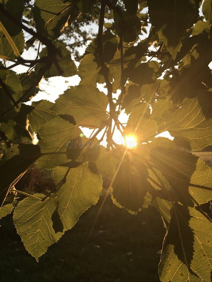 Sun che alza tramite le foglie fotografia stock