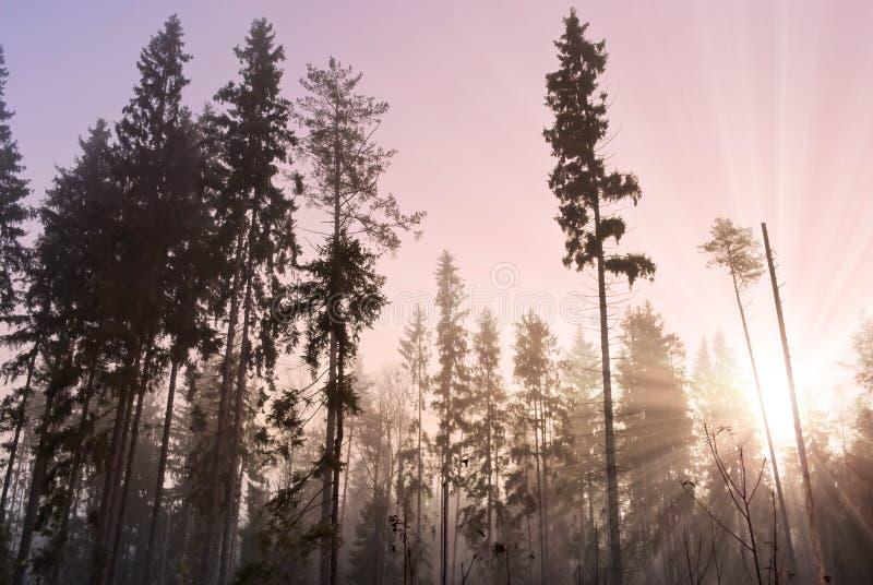 Sun che aumenta in legno nebbioso fotografia stock libera da diritti