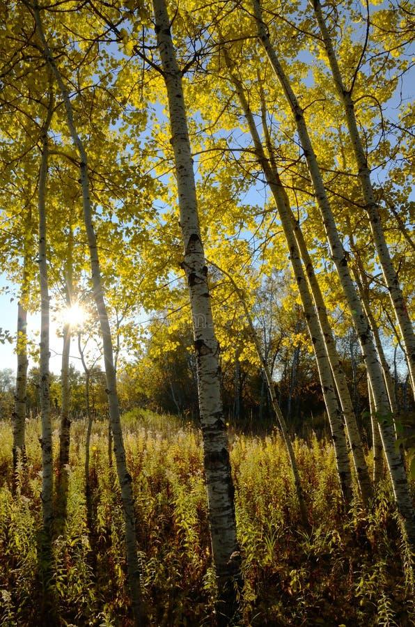 The Sun che splende attraverso Aspen Trees nella caduta immagine stock libera da diritti