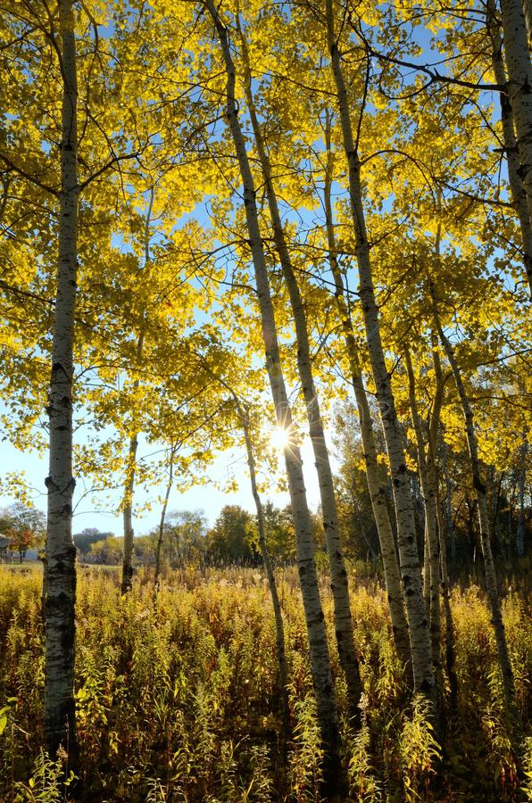 The Sun che splende attraverso Aspen Trees nella caduta fotografia stock